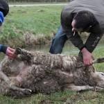 Schaapskudde slachtoffer van loslopende hond bij de Kleine Duiker (Barendrecht)