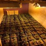 Hennepkwekerij met 256 planten ontdekt aan de Avenue Carnisse in Barendrecht