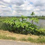Jongetje (5) gewond door sap uit berenklauw langs de Middeldijk