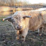Wiko, de nieuwe blonde stier van de Koedood