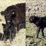 Galloway koetje 'Deli' geboren in Barendrechtse Zuidpolder