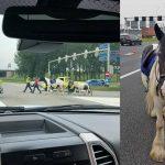 Crossmotor geeft extra gas, ruiter van paard geworpen, paarden rennen snelweg A15 op
