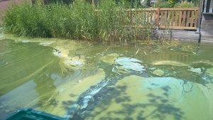 """Blauwalg jaarlijkse plaag voor bewoners van """"Venetië"""" in Barendrecht"""