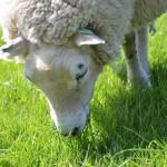 Grazend schaap in het gras