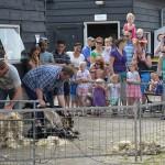 Schapenscheerfeest bij De Kleine Duiker 2014, Barendrecht