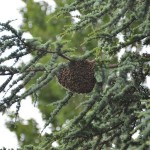 Brandweer helpt bij weghalen van 20.000 bijen uit boom Middeldijk in Barendrecht