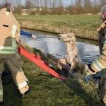 Paard op leeftijd uit de sloot geholpen in het Kooiwalbos, Barendrecht
