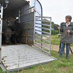 "Familie Galloway runderen losgelaten in Zuidpolder: ""Hopen op kalfjes"""