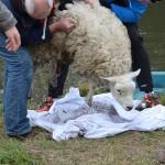 Alwéér schaap in de sloot aan de Middeldijk in Barendrecht