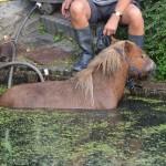 Pony in de sloot aan de Voordijk in Barendrecht