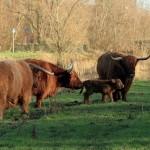 Vier nieuwe Schotse Hooglanders bij natuurgebied Koedood