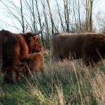 2 Schotse Hooglander kalfjes geboren in natuurgebied Koedood