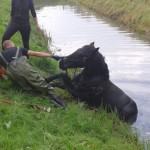 Brandweer redt paard uit sloot langs de Lorentzweg in Barendrecht