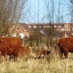 Kalfje geboren bij nieuwe kudde Schotse Hooglanders in natuurgebied Koedood